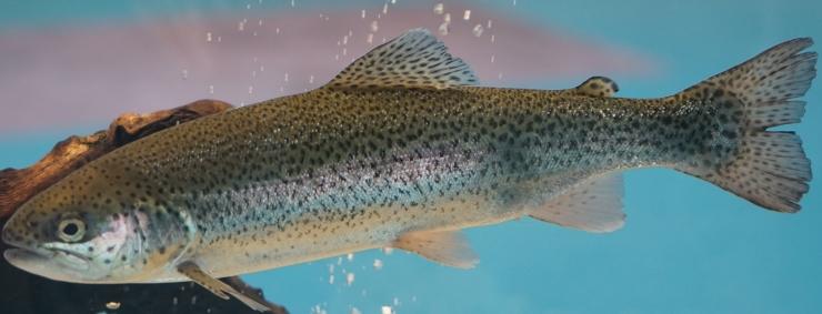 La pelle di Trota iridea come fonte di acidi grassi: un nuovo articolo pubblicato su Waste and Biomass Valorization