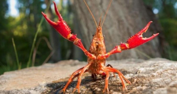 Progetto Sushin, limitata l'espansione del Gambero rosso della Louisiana nel Parco Nazionale del Circeo